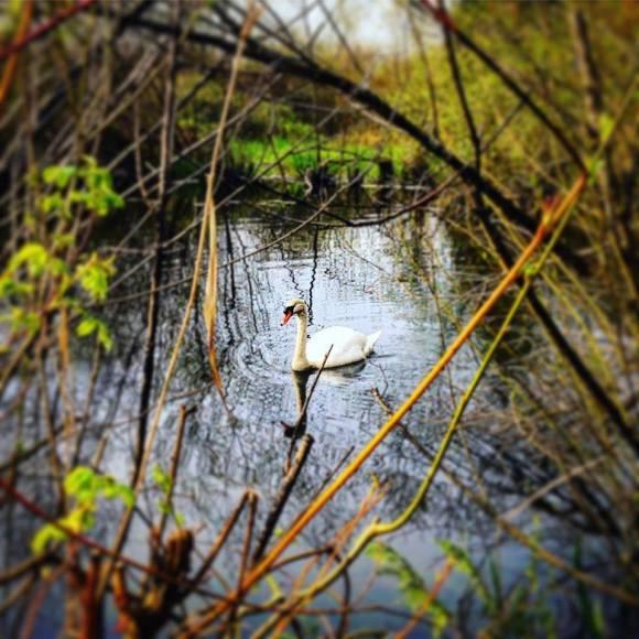031916 Swan