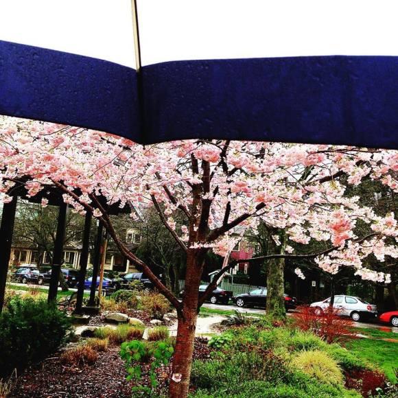 Umbrella & Cherry Blossoms