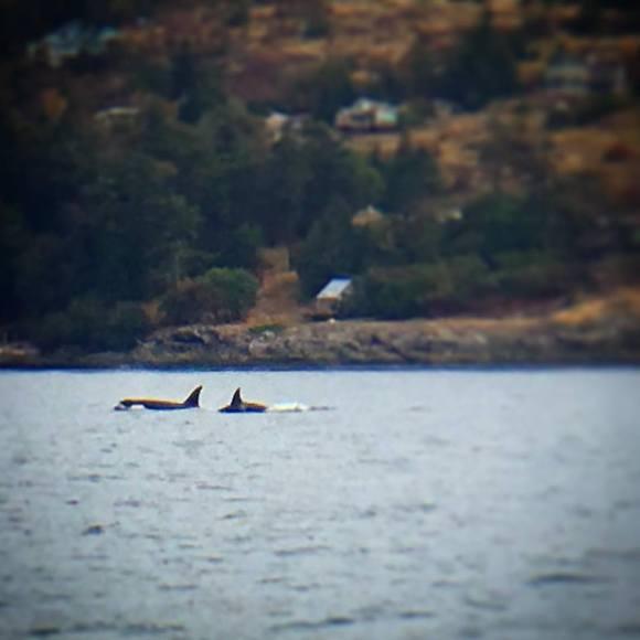 090316 Orcas